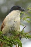 Coucal Burchell (burchellii Centropus) Стоковая Фотография
