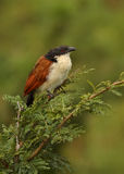 coucal burchels Royaltyfri Foto