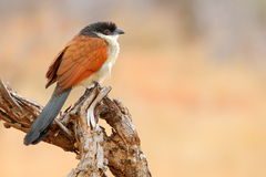 Coucal de Burchell fotografia de stock