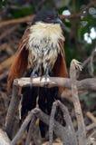 Coucal de Burchell (burchellii del Centropus) Imagen de archivo libre de regalías
