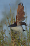 Coucal take off. Coucal taking off in Chobe National Park, Botswana Stock Images