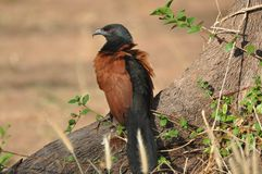 Coucal in Thailand Royalty-vrije Stock Afbeelding