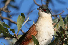 Coucal van Burchell royalty-vrije stock foto