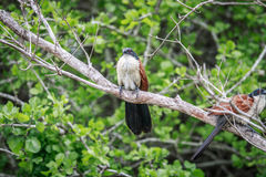 2 coucals Burchell сидя на ветви Стоковые Фото