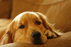 Couch Dog Stock Photography