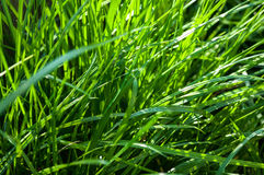 Couch grass growing Royalty Free Stock Photography