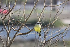 Couch's Kingbird (Tyrannus couchii) Royalty Free Stock Photography
