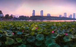 Coucher du soleil à l'étang de lotus Images stock