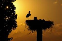 Coucher du soleil à l'emboîtement de cigogne blanche Photos stock