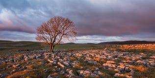 Coucher du soleil au-dessus d'arbre solitaire, vallées de Yorkshire Photos stock