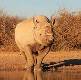 Coucher du soleil au-dessus d'espèce - rhinocéros noir mis en danger Image libre de droits