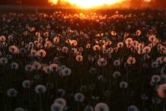 Coucher du soleil au-dessus d'un champ avec des pissenlits photographie stock