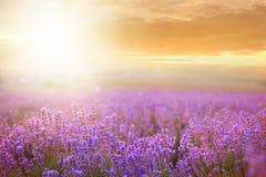 Coucher du soleil au-dessus d'un gisement de lavande photos libres de droits