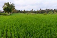 Coucher du soleil au-dessus d'un gisement de riz sur Bali Image libre de droits
