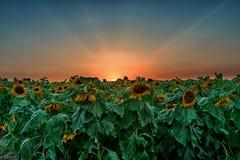 Coucher du soleil au-dessus d'un gisement de tournesols Photos libres de droits