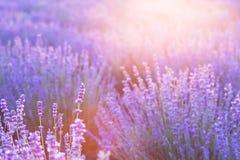Coucher du soleil au-dessus d'un gisement violet de lavande Images libres de droits