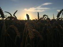 Coucher du soleil au-dessus de blé Image libre de droits
