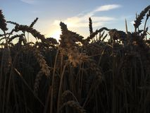 Coucher du soleil au-dessus de blé Image stock