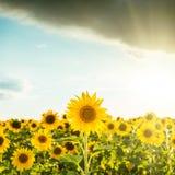 Coucher du soleil au-dessus de champ avec des tournesols Image libre de droits