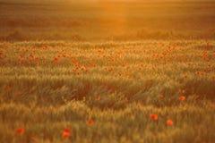 Coucher du soleil au-dessus de champ de pavot Image stock