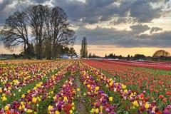 Coucher du soleil au-dessus de ferme de fleur de tulipe dans le printemps Photographie stock libre de droits