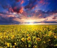 Coucher du soleil au-dessus de gisement de tournesols Images libres de droits