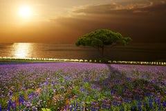 Coucher du soleil au-dessus de gisement de lavande photographie stock libre de droits