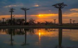 Coucher du soleil au-dessus de l'allée des baobabs, Madagascar Photographie stock libre de droits