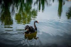 Coucher du soleil au-dessus de lac calme et de cygne noir Photo libre de droits