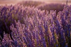 Coucher du soleil au-dessus de Violet Lavender Field en Turquie Images libres de droits