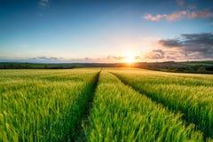 Coucher du soleil au-dessus des champs d'orge Photos libres de droits