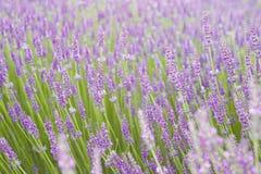 Coucher du soleil au-dessus des fleurs pourpres de la lavande Photo stock