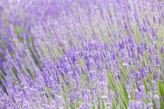 Coucher du soleil au-dessus des fleurs pourpres de la lavande Images libres de droits