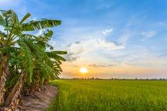 Coucher du soleil au-dessus des gisements de riz Photos libres de droits