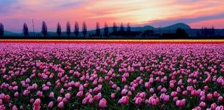 Coucher du soleil au-dessus des tulipes Photographie stock libre de droits