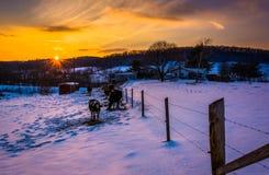 Coucher du soleil au-dessus des vaches dans un domaine couvert de neige de ferme en Carroll County Image stock