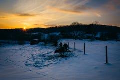 Coucher du soleil au-dessus des vaches dans un domaine couvert de neige de ferme en Carroll County Image libre de droits