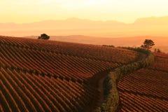 Coucher du soleil au-dessus des vignobles Images libres de droits