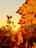Coucher du soleil au-dessus du vignoble photo stock