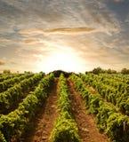 coucher du soleil aux vignes Photographie stock libre de droits