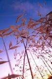Coucher du soleil avec l'herbe jaune dans le Cap-Occidental, Afrique du Sud Photographie stock