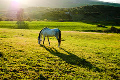 Coucher du soleil avec le cheval blanc Images libres de droits