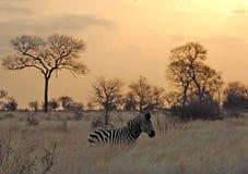 Coucher du soleil avec le zèbre en Afrique Photos stock