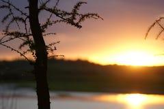 Coucher du soleil avec un conifère Photos stock