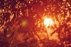 Coucher du soleil avec une silhouette des feuilles en bambou Effets de tache floue Image stock