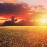 Coucher du soleil d'or au-dessus de champ avec l'orge Images stock