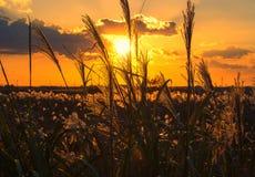Coucher du soleil d'automne avec la silhouette d'herbe argentée image stock