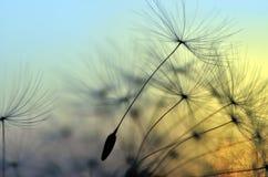Coucher du soleil d'or et pissenlit Image libre de droits