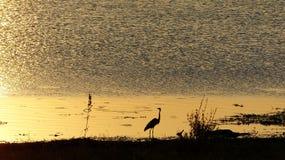Coucher du soleil d'or reflétant à un point d'eau avec une silhouette noire d'un héron de Goliath image libre de droits