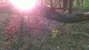 Coucher du soleil dans la forêt de pin banque de vidéos